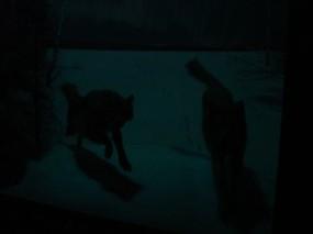 AMNH-wolf